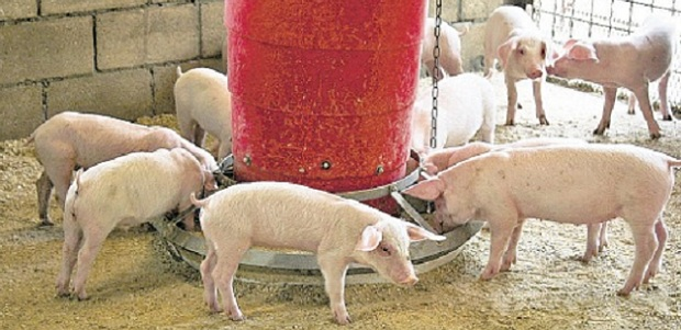 Porcine Epidemic Diarrhoea Virus Could Damage Jamaica's Pig Farming says JPFA