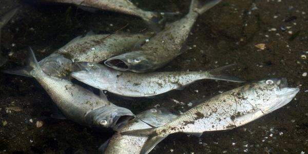 fish kill in st luci