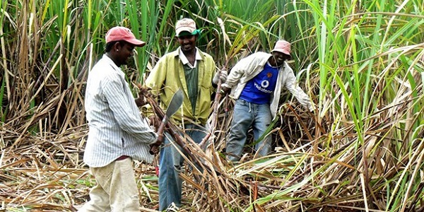 Guyana Sugar Firm Remains Optimistic At Reaching Production Target After 3-Day Strike By Workers