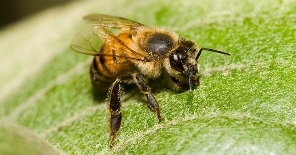african killer bee